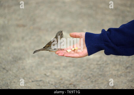 sparrow bird eating bread from outstretched hand - Stock Photo