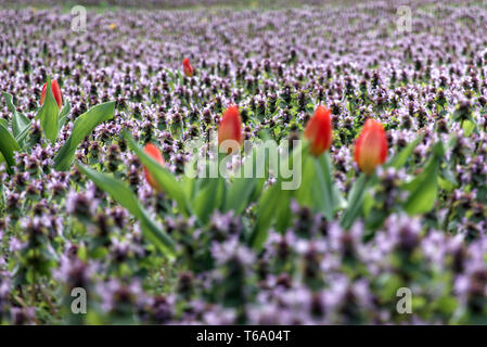 28 April 2019, Berlin: Still almost closed tulips stand on a meadow full of purple red deadnettle (Lamium purpureum) at the place of the United Nations in the district Friedrichshain. Photo: Soeren Stache/dpa-Zentralbild/ZB - Stock Photo