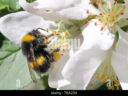 Berlin, Germany. 30th Apr, 2019. A bumblebee sits on a blossom of an apple tree and collects nectar. Credit: Wolfgang Kumm/dpa/Alamy Live News - Stock Photo