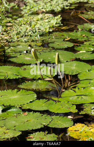 water lily in small pond - Stock Photo