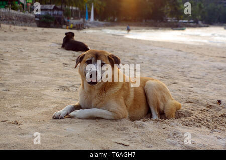 Dogs lay on the beach watching the summer vacation - Stock Photo