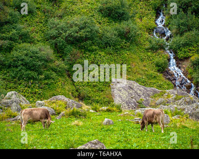 two cows on mountain pasture in the Alps of Switzerland - Stock Photo