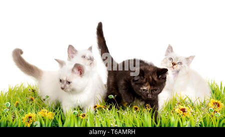 Portrait of four British Shorthair Kittens sitting, 8 weeks old, - Stock Photo