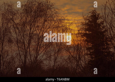 Setting sun on the day of a loved one against treeline in Springtime of Silver Birch and Ash trees with dramatic dreamy orange red cloudy sunset - Stock Photo