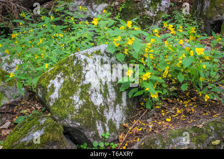 Bright yellow wild flowers along with green leaves foliage growing on mossy stones in a woodland - Stock Photo