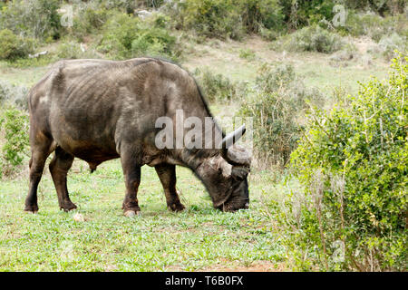 Smelling The Grass - African Buffalo Syncerus caffer - Stock Photo