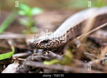 Slow Worm or Blind Worm, Anguis fragilis - Stock Photo