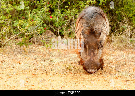 Front view of a common warthog - Stock Photo