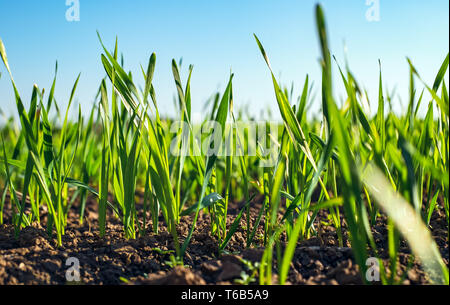 Young sprouts of wheat, closeup view. - Stock Photo