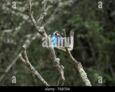 Kingfisher, Welsh Wildlife Centre, Cilgerran, Wales - Stock Photo