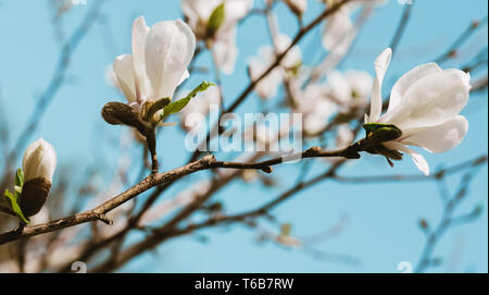 White magnolia flowers  blooming on the blue sky . - Stock Photo