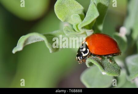 A Polished Lady Beetle (Cycloneda munda) wandering across leaves of a Barometer Bush during Springtime in Houston, TX. - Stock Photo