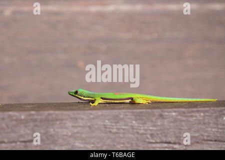 Lined Day Geckos (phelsuma Lineata Lineata) - Stock Photo