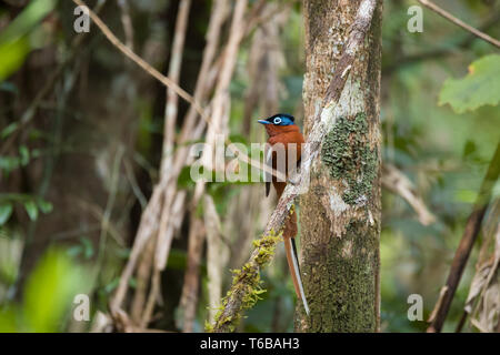 Madagascar Paradise-flycatcher, Terpsiphone mutata - Stock Photo