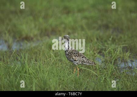 Great egret, Adrea Alba - Stock Photo