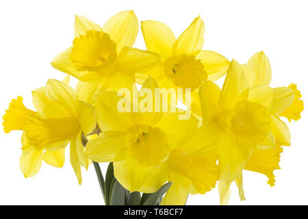 jonquil or narcissus, Narcissus jonquilla, family Liliaceae - Stock Photo