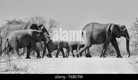 A herd of Elephants crossing a dirt track in Southern African savanna - Stock Photo