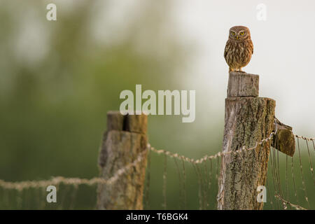 little owl from Hungary
