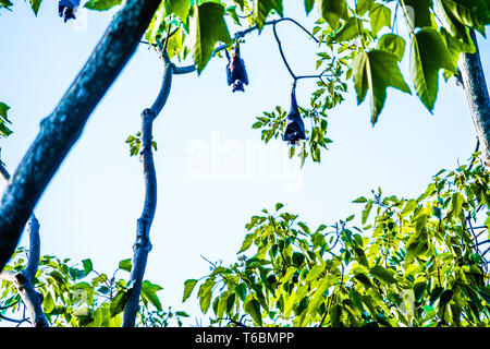 Large fruit bats (flying foxes) hanging off a tree - Stock Photo