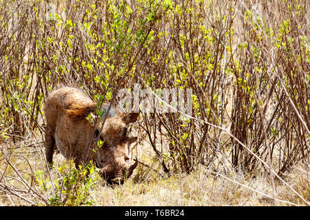 They can not see me -  The common warthog - Stock Photo
