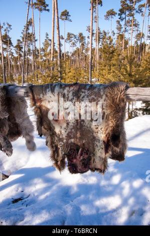 Reindeer pelt drying. - Stock Photo