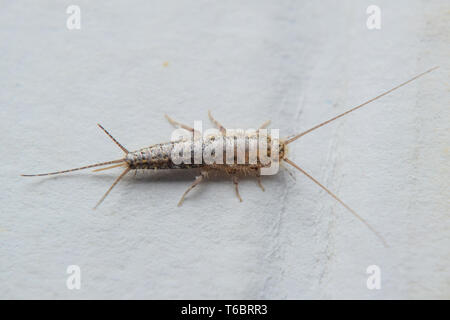 Insect feeding on paper - silverfish - Stock Photo