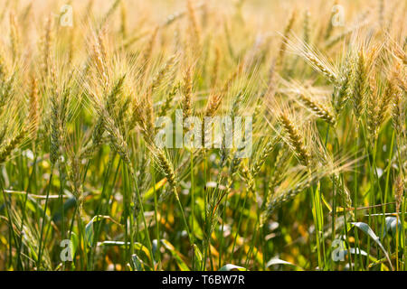 Golden yellow wheat spikes. Ripe wheat spikes in a field on a sunny day. - Stock Photo