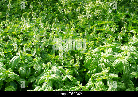 large amount  of basil being grown - Stock Photo