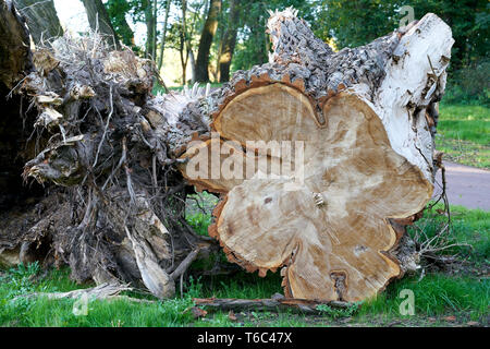 Fallen trees after a storm in Magdeburg - Stock Photo