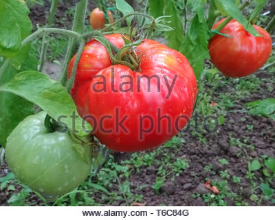 Red tomatoes. Tomato on a twig. Ecological natural agriculture without preservatives. Tomato growth plant. - Stock Photo