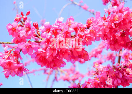 Spring time with beautiful cherry blossoms, pink sakura flowers. - Stock Photo