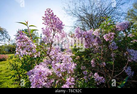 Lilacs in bloom in Pavilion Gardens Brighton UK - Stock Photo