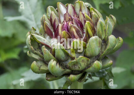 Globe artichoke, Cynara scolymus - Stock Photo