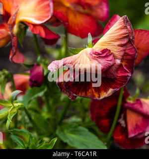 Red wilted pansy in the nature - Stock Photo