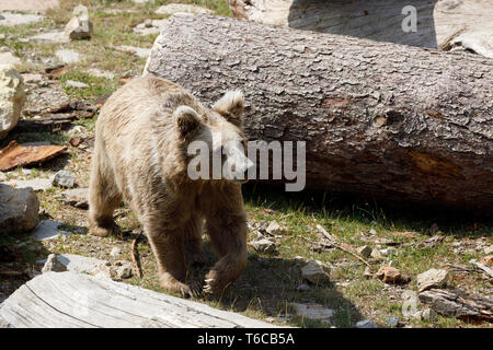 Himalayan brown bear (Ursus arctos isabellinus) - Stock Photo