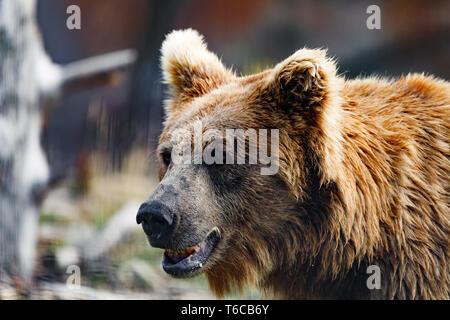 Himalayan brown bear (Ursus arctos isabellinus) - Stock Photo