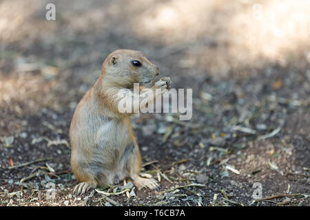 Black-tailed prairie dogs (Cynomys ludovicianus) - Stock Photo