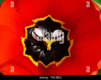 Open tulip flower head with pistils and stamens. Top view macro image. Closeup of floral background in red with yellow and black elements - Stock Photo