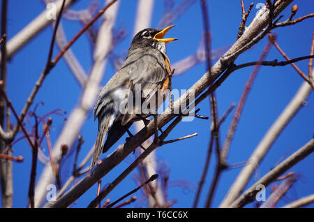 Montreal, Canada,April 17, 2019.An American robin perched on a tree branch..Montreal,Quebec,Canada.Credit:Mario Beauregard/Alamy Live News