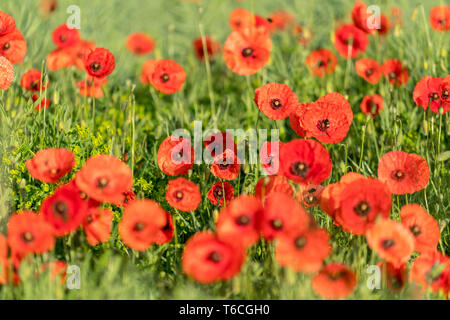 Flowering poppies in a field in spring time - Stock Photo