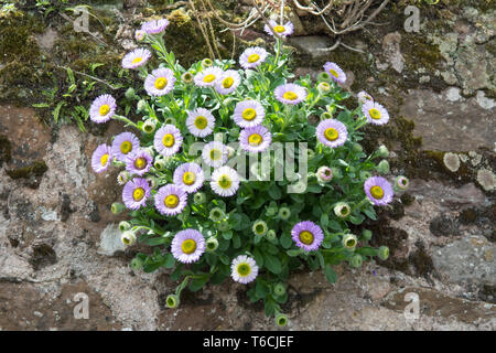 Erigeron Glaucus or seaside daisy or fleabane plant growing on a wall - UK