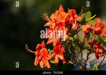 Red azaleas blooms in spring garden - Stock Photo