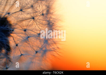 close up of Dandelion abstract color in sunset - Stock Photo