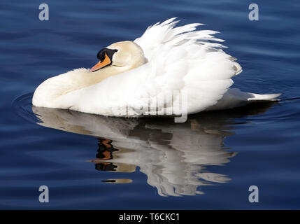 Mute Swan or White Swan, Cygnus olor, Germany - Stock Photo