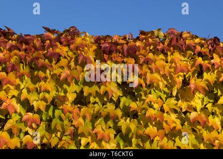 Wild wine in autumn