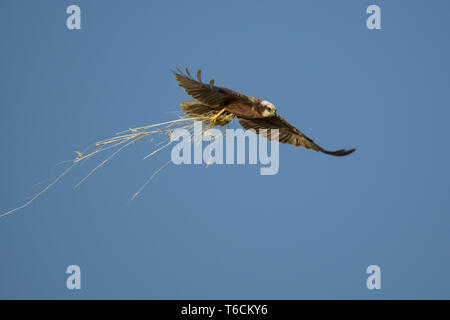 marsh harrier from Hungary - Stock Photo