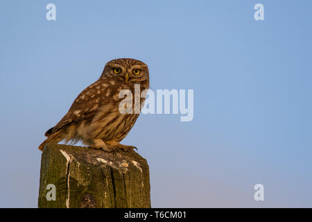 little owl from Hungary on a pale