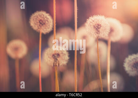 Dandelion field in vintage color effect - retro style image with blurred bokeh background and sunlight backlit - Stock Photo
