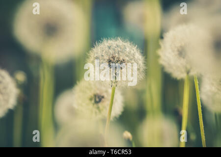 Dandelion field in green vintage color effect - retro style image with nice blurred bokeh background - Stock Photo