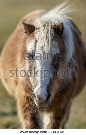 Blue-eyed Pony (Equus ferus caballus) front view closeup. - Stock Photo
